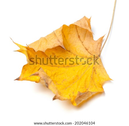Autumn yellow maple leaf isolated on white background. Selective focus. - stock photo