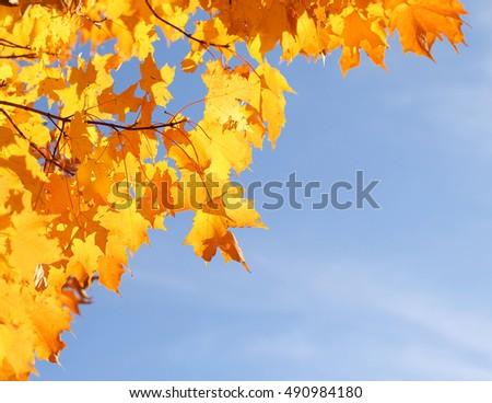 Autumn Yellow Maple Leaves over Blue Sky. Fall