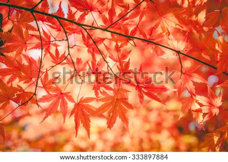 autumnal background, slightly defocused red maple leaves , vintage - stock photo