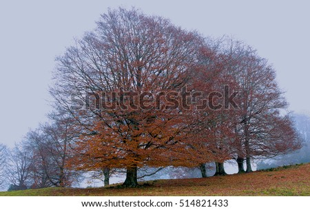 autumnal beech trees in the fog