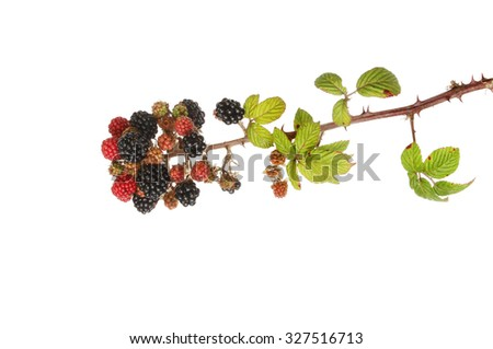 Autumnal blackberry fruit and foliage isolated against white