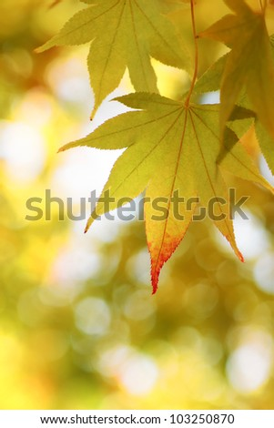 Autumnal colored leaves, maple in oirase