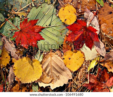 Autumnal colored leaves, maple leaf litter - stock photo