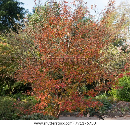 Autumnal Foliage of Stewartia pseudocamellia (Deciduous Camellia) in a Country Cottage Garden in Rural Devon, England, UK
