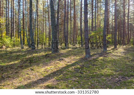 Autumnal forest landscape. Beautiful pine forest at sunny morning.