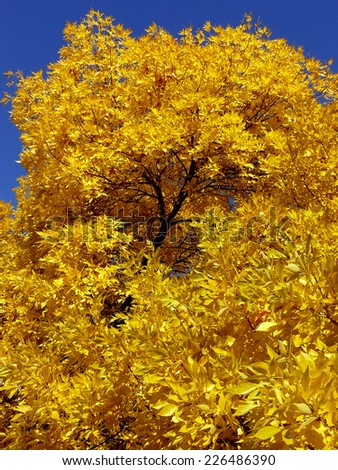 autumnal golden foliage of ash-tree - stock photo