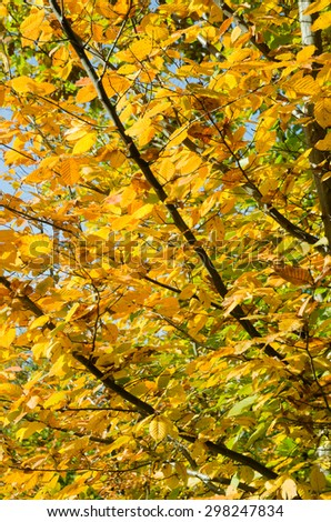 Autumnal hornbeam tree with colorful leafs - stock photo
