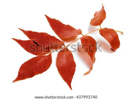 Autumnal leaf isolated on white background - stock photo