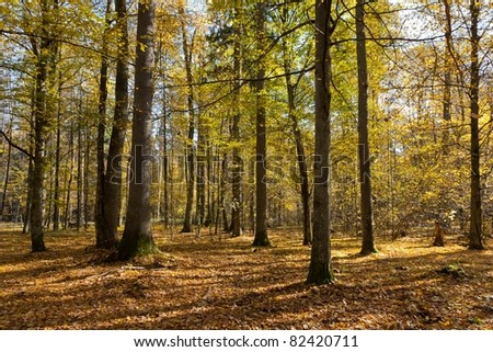 Autumnal mixed forest with dry leaves in sunny day