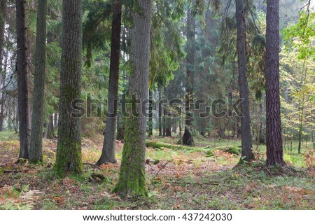 Autumnal mixed stand of Bialowieza Forest in afternoon, Bialowieza Forest, Poland, Europe