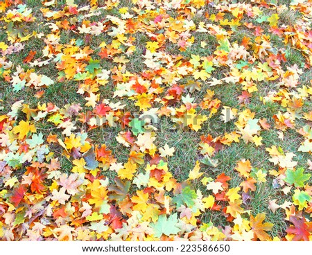 Autumnal of foliage of maple on the green lawn - stock photo