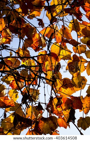Autumnal ornament, beautiful natural background, bright and vibrant colorful leaves illuminated by sun  - stock photo