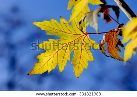Autumnal red and yellow maple leaves, backlit - stock photo