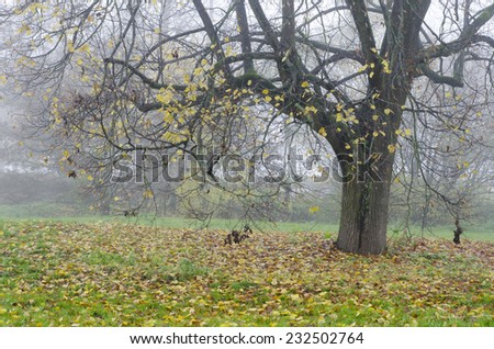 Autumnal tree with few colorful leafs in the foggy day - stock photo