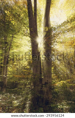Autumnal trees with colorful foliage and sun rays. Forest background.Toned photo. - stock photo