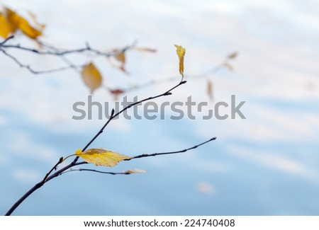 Autumnal yellow leaves hanging on tree branches - stock photo
