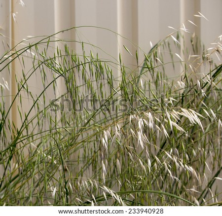 Avena fatua a common wild oats growing in spring and summer   against a cream metal fence is a pasture  weed the seeds when ripe eaten by the  larvae of some Lepidoptera species . - stock photo
