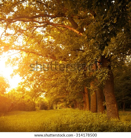 Avenue of oak trees in morning with golden sun  - stock photo
