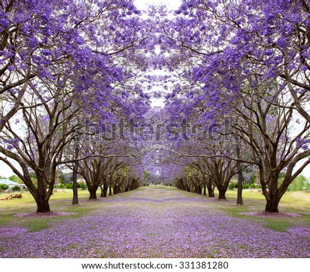 Avenue of vibrant purple jacaranda flowers on trees