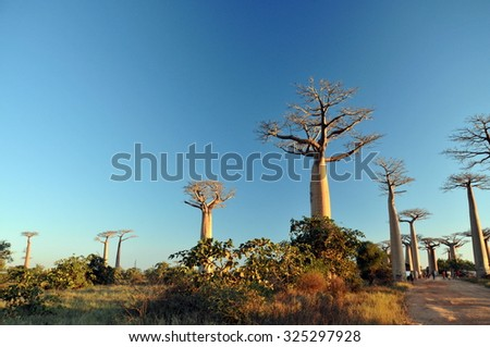Avenue or Alley of the Baobabs in Morondova Madagascar - stock photo