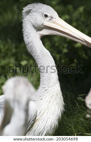 avian pelican, bird with huge beak - stock photo