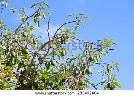 Avocado fruit hanging off trees with blue sky
