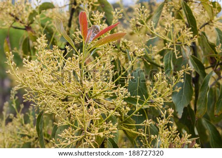 avocado tree with a lot of new flowers - stock photo
