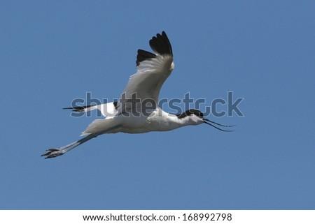 Avocet in flight against blue sky - stock photo