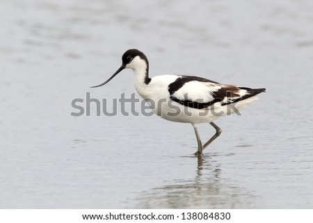 Avocet, Recurvirostra avosetta, single bird feeding in water, Norfolk, July 2010