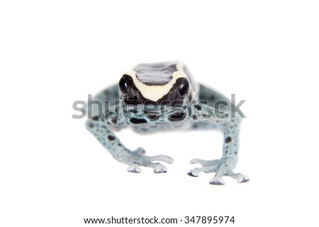 Awarape Blue Dyeing Poison Dart Frog, Dendrobates tinctorius, on white background.