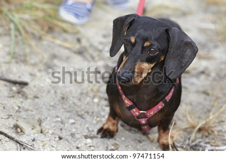 Aware and curious Dachshund dog breed - stock photo