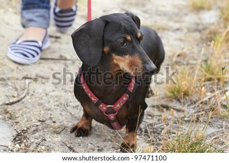 Aware Dachshund dog looking ahead - stock photo