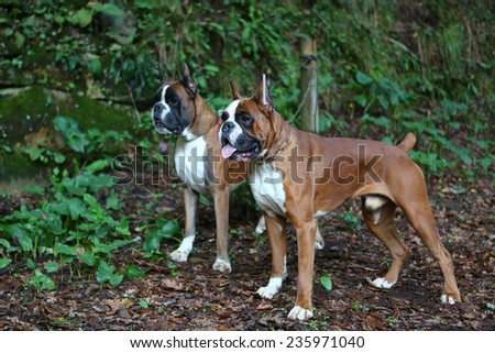 Awesome young boxers on a park in autumn - stock photo