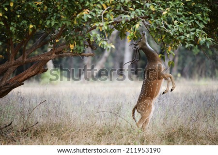 Axis Axis deer. India - stock photo
