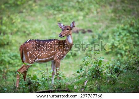 Axis deer in habitat - stock photo