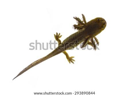 Axolotls are members of the Ambystoma tigrinum (Tiger salamander). Top view - stock photo
