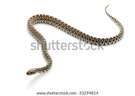 Axthantic Bull Snake (Pituophis catenifer sayi) isolated on white background.