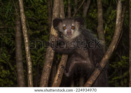 Aye-aye, nocturnal lemur of Madagascar  - stock photo