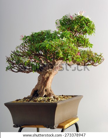 azalea bonsai in the spring after blooming and partial pruning