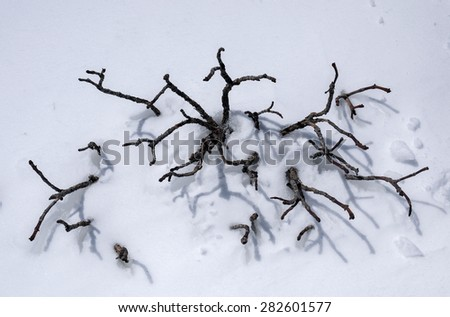 azalea branches on the snowland under the sunshine in springtime.