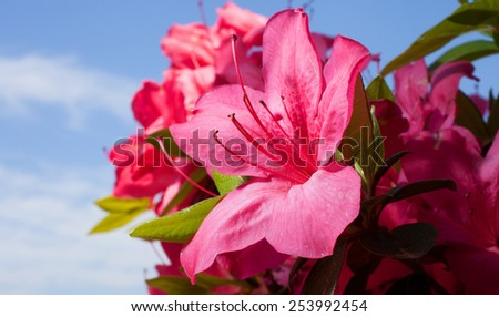 Azalea bush with lots of blooms and the sky and clouds behind - stock photo