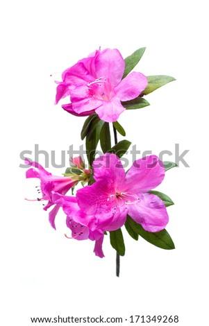 Azalea flower isolated on white - stock photo