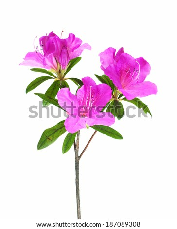 Azalea flower isolated on white - stock photo