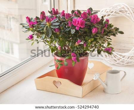 Azalea ( Rhododendron simsii ) in a pot near the watering can on the window