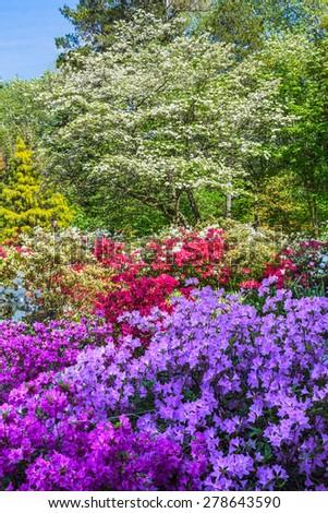 Azalea's in full bloom at Sayen Park in Hamilton Township New Jersey. - stock photo