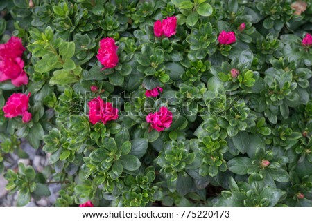 Azalea shrub pink flowers blooming summer stock photo safe to use azalea shrub with pink flowers blooming in summer garden gorgeous houseplant and garden plant with mightylinksfo