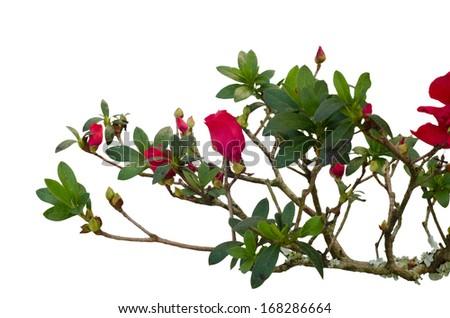 azalea tree isolated on white background - stock photo