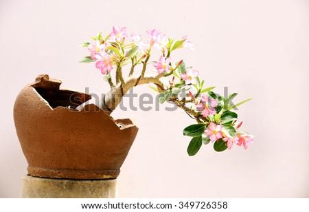 Azalea trees in pots isolated on white background - stock photo
