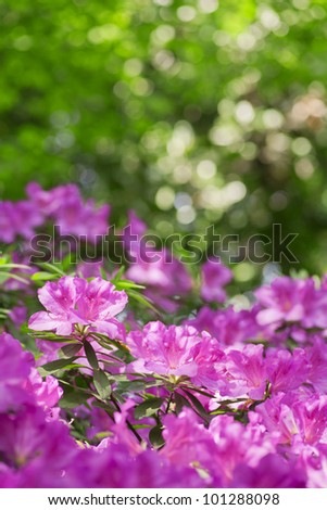 Azaleas - stock photo