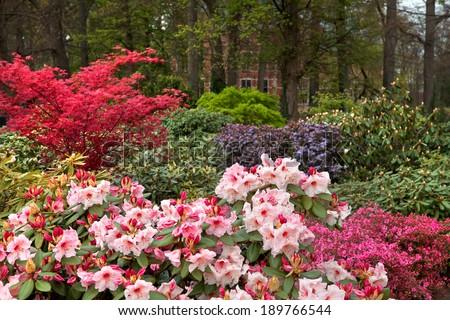 Azaleas in the spring park. Spring landscape. - stock photo